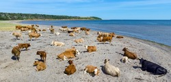 A herd of cows on a beach near Cheticamp, Nova Scotia.