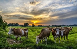 A herd of cows on a pasture at dawn. Cows grazing at dawn. Sunrise in cow farm. Early morning cow herd grazing