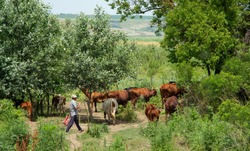 A herd of cows with a shepherd in the forest.