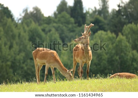 A herd of deer and roe deer in the pasture #1161434965