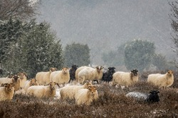 A herd of Drenthe heath sheep in a snow shower - Hondsrug, Drenthe, Netherlands.