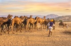 A herd of dromedary camels being led through a desert landscape by camel traders near Pushkar in Rajasthan, India.