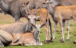 A herd of Eland antelope resting at a game reserve near Johannesburg, South Africa