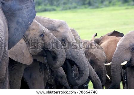 A herd of Elephants drinking water, Addo Elephant National Park