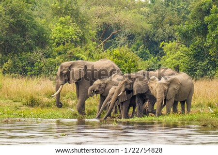 A herd of elephants ( Loxodonta Africana) drinking at the riverbank of the Nile, Murchison Falls National Park, Uganda. Stock photo ©