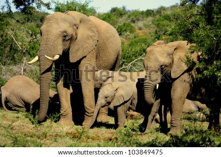 A herd of elephants playing,interacting,lying on the ground,sleeping and enjoying the day during a safari in Pumba reserve,eastern cape,south africa