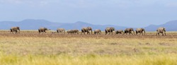 A herd of elephants walk through the open plains of Amboseli, past the foothills of Kilimanjaro. Panorama with tilt-shift effect.