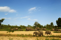A herd of elephants walking along the banks of a dried river bed in Kruger National park