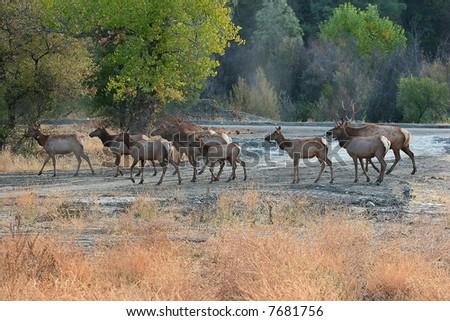 A herd of elk cross a stream.