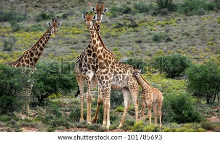 A herd of Giraffe with a baby giraffe calf
