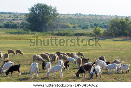 A herd of goats and sheep.  Animals graze in the meadow. Pastures of Europe. #1498434962