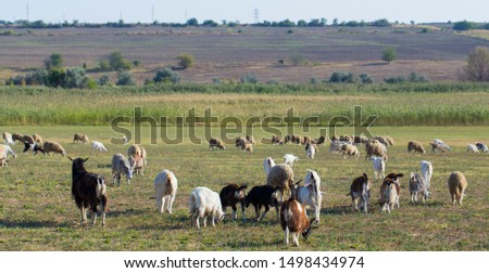 A herd of goats and sheep.  Animals graze in the meadow. Pastures of Europe. #1498434974