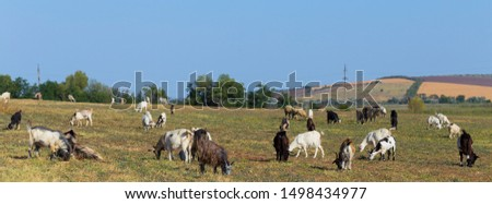 A herd of goats and sheep.  Animals graze in the meadow. Pastures of Europe. #1498434977