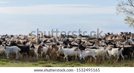 A herd of goats and sheep. Animals graze in the meadow. Pastures of Europe. #1532495165