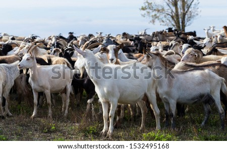 A herd of goats and sheep. Animals graze in the meadow. Pastures of Europe. #1532495168