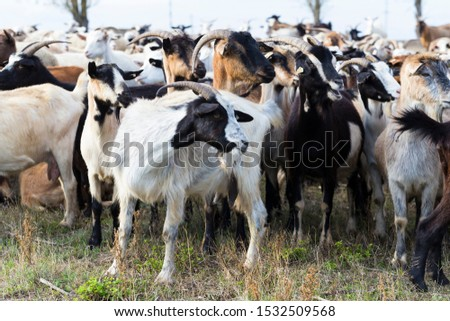 A herd of goats and sheep. Animals graze in the meadow. Pastures of Europe. #1532509568