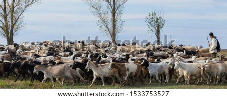 A herd of goats and sheep. Animals graze in the meadow. Pastures of Europe. #1533753527