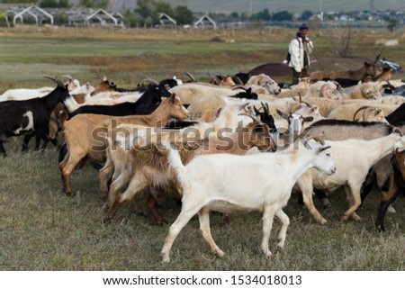 A herd of goats and sheep. Animals graze in the meadow. Pastures of Europe. #1534018013