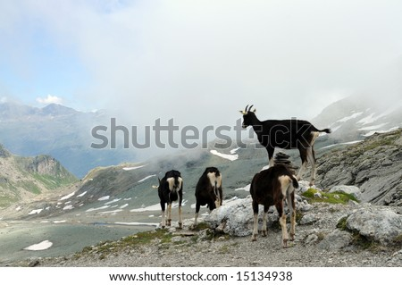 a herd of goats high up in the swiss alps