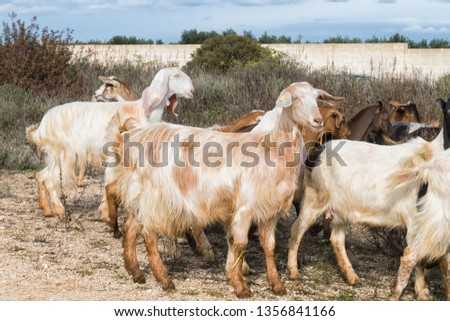 A herd of goats wanders to pasture. Ecological goat raising. Goat breeding in Salento, part of Puglia, Italy #1356841166