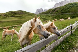 A herd of Haflinger horses in the Dolomites in South Tyrol