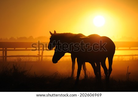 A herd of horses at dawn Horses come in a landscape at sunrise silhouette