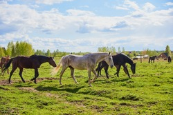 A herd of horses is walking on green grass, in the center of a gray speckled horse.