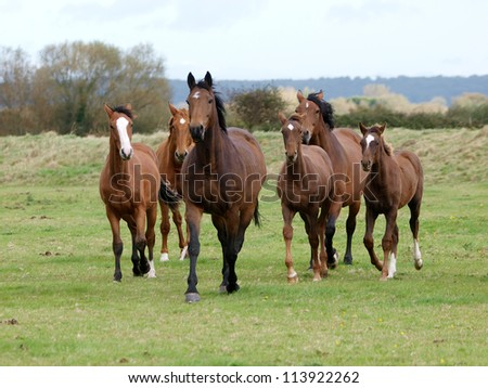 A herd of horses with foals trot loose towards the camera