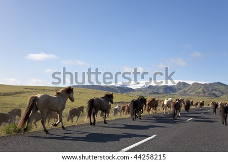 A herd of Icelandic horses galloping down a road towards fields and mountains, illuminated by golden evening light. Shot on location in Iceland.