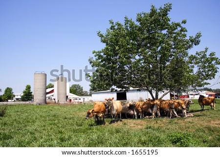 A herd of Jersey cows standing under a tree