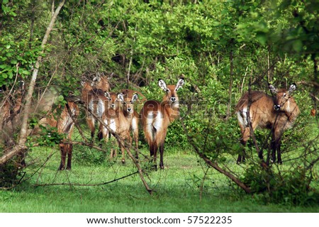 A herd of kob in Mole NP in Ghana