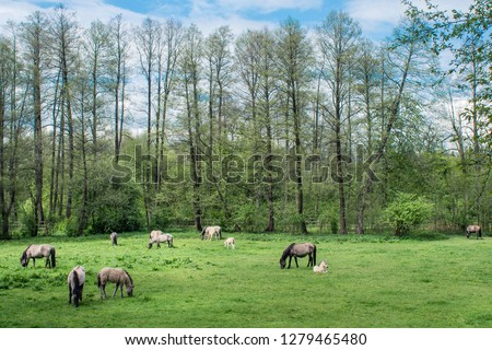 A herd of Polish Horses (Konik Polski) in National Park (Roztoczański Park Narodowy) - the most wooded national park in Poland. The perfect place for long trips. Zdjęcia stock ©