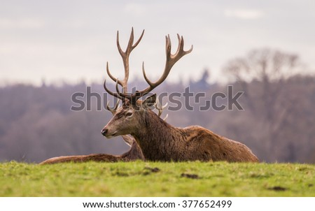 A herd of Red Deer (Cervus elaphus) stags relaxing in a deer park. #377652499