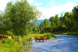 A herd of red, white, and brown horses graze in nature. Animals were permitted to graze freely drink water from the river. Beautiful scenery.