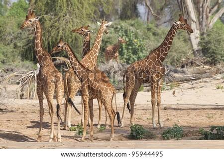 a herd of Reticulated Giraffe (Giraffa camelopardalis reticulata) in Kenya's Samburu Reserve
