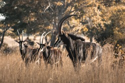 A herd of Sable antelope grazing in the long, thick grass of the African bush.