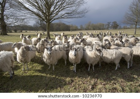 stock photo   a herd of sheep