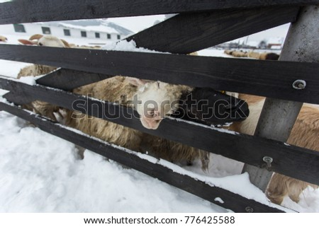 A herd of sheep on a farm on a winter day. A herd of sheep on a farm on a winter day. A sheep looks at the camera near the fence. #776425588