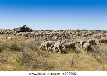 A herd of sheep on the High Desert.
