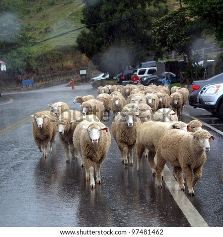 A herd of sheep returns from the pasture in the rain