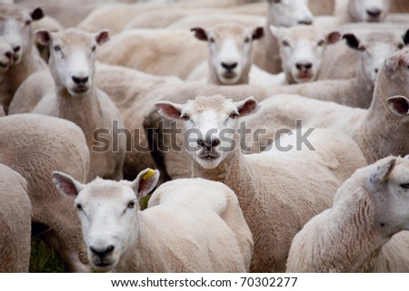 A herd of sheep staring at the camera/Herd of Sheep - stock photo