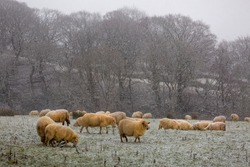 A herd of sheep with a light dusting of snow in a field on the Brecon Beacons, South Wales UK