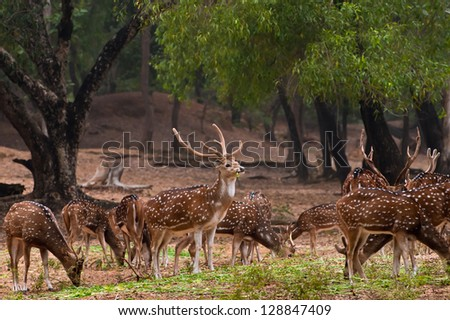 A herd of spotted deer(Chital) foraging on fresh green grass in a forest.