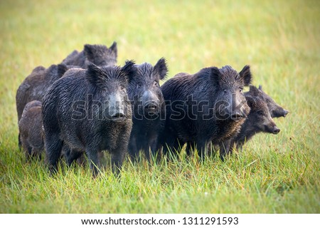 A herd of wild boars, sus scrofa, on a meadow wet from dew. Wild animals in nature early in the morning with moisture covered grass. Mammals in wilderness. Photo stock ©