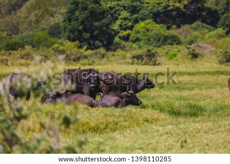 A herd of wild buffaloes having a rest on the green field. Big black animals eating grass, curved horns on the head. Hiding from the lions in a forest. #1398110285
