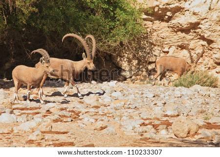 A herd of wild goats, with huge horns grazing in the mountains - stock photo