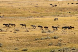 A herd of wild horses at Theadore Roosevelt National Park heading across the valley single file following the leader.