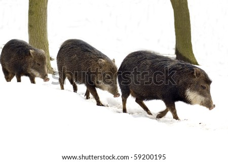A herd of wild peccary.  Musk hog.