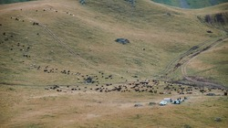 A herd of wild sheep in the mountains, many sheep and rams walk through the endless fields and meadows