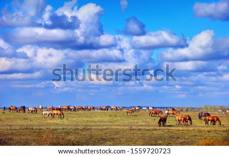 A herd of wild Vyatka (Viatka) hourses free grazing in the meadow at the background of distant forest and sky with clouds. Beautiful autumn landscape in Deers Nature Park, Lipetsk oblast, Russia #1559720723